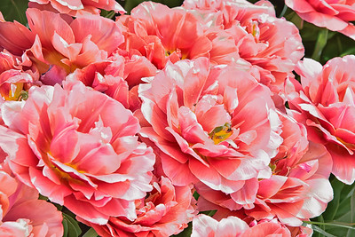 Tulips Cluster-Copper Image