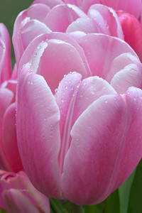 PInk Tulips and Raindrops