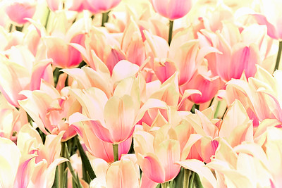 Blushing Lady Tulips Semi-Abstract
