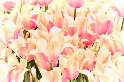 Blushing Lady Tulips Semi-Abstract