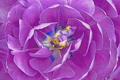 Lavender Tulip Portrait