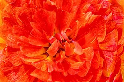 Sun Power Tulip in Orange
