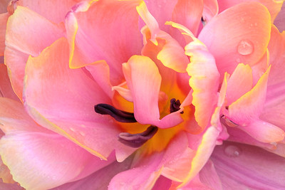 Double Tulip in Pink and Yellow