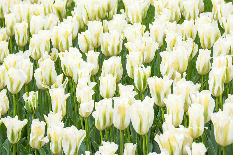 Ivory tulip Bed