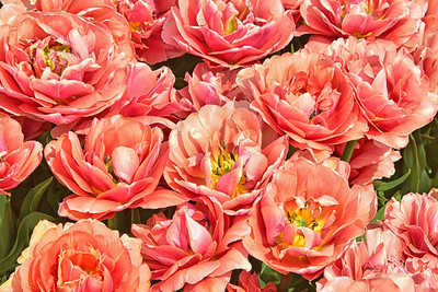 Copper Image Tulip Grouping