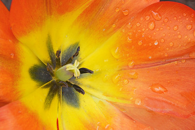 Orange Tulip in the Rain