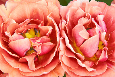 Copper Image Tulip Pair