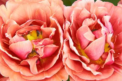 Copper Image Tulip Pair