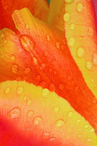 Tulip Raindrop Abstract in Orange and Gold