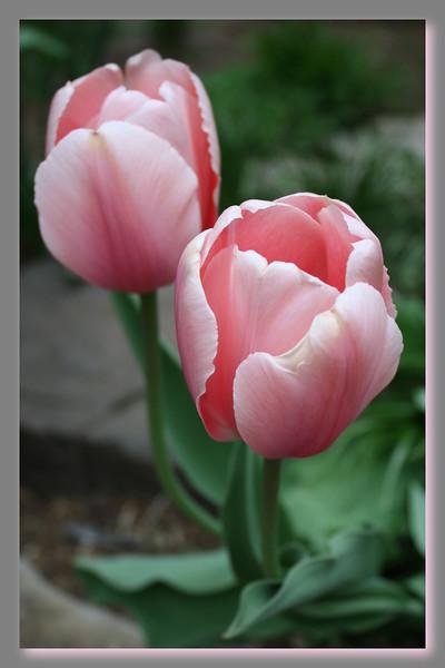 FL 2 PinkTulip