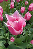 FL 116 Pink Fringed Tulip, Holland