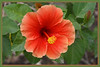 FL 15 Orange Hibiscus