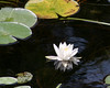 FL 60 Water Lily Reflection