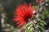 FL 26 Red Fairy Duster Calliandra Californica Pea Family