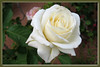 FL 11 White Rose