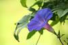 FL 146 Blue Flower IMG_6160