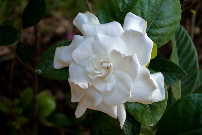 FL 79 Gardenia