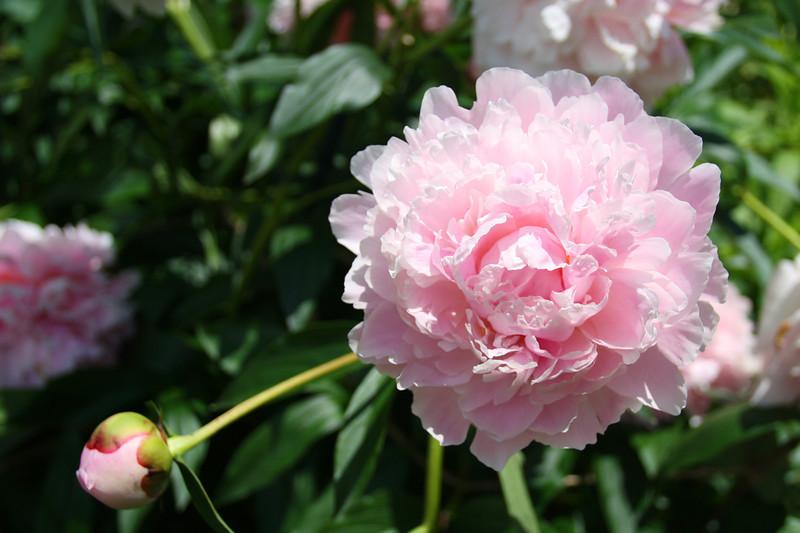 FL 52 Pink Peony