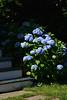 FL 57 Blue Hydrangeas