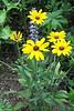 FL 32 Yellow Daisies