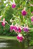 FL 10 Fuchsia
