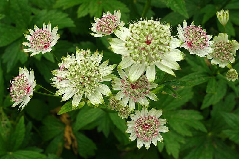 FL 142 Flower Cluster IMG_5169