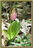 FL 47 Single Lady Slipper & Berry