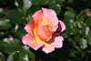 FL 51 Pink Rose with Dew Drop