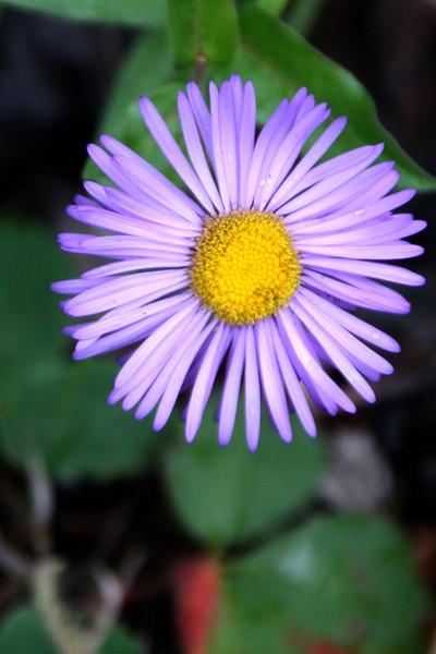 FL 98 Colorado Wildflower