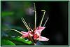 FL 81 A Pink Flower
