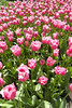 FL 119 Field of Pink Fringed Tulips, Holland