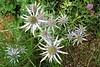 FL 110 White Star-like flowers