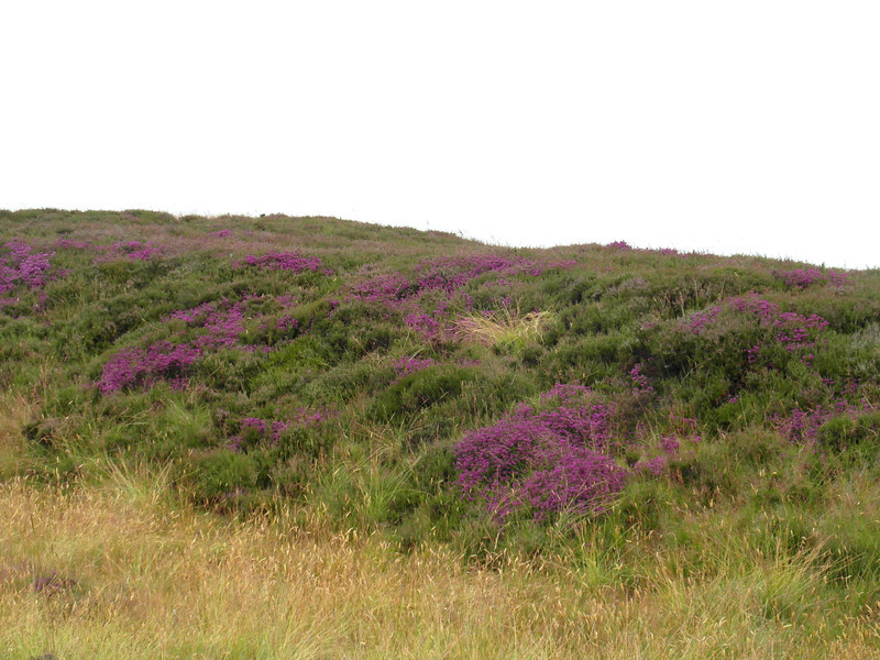 FL 134 Heather on the Hills, North Yorkshire Moors, England