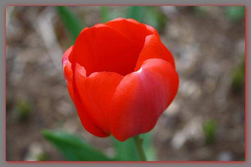 FL 12 Red Tulip