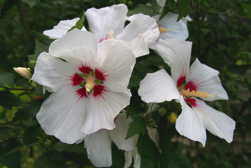 FL 58 Rose of Sharon Hibiscus syriacus