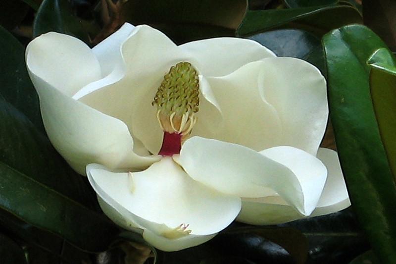 FL 1 White Magnolia