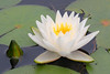 FL 94 Water Lily