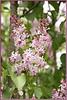 FL 89 A Lilac