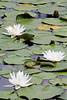 FL 95 Three Water Lilies
