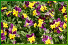 FL 44 Field of Pansies
