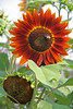 FL 96 Orange Sunflower with Bee_
