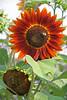 FL 96 Orange Sunflower with Bee_