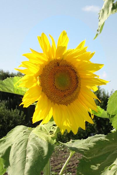 FL 19 Sunflower