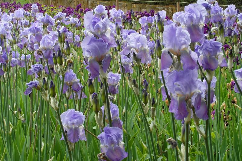 FL 139 Irises