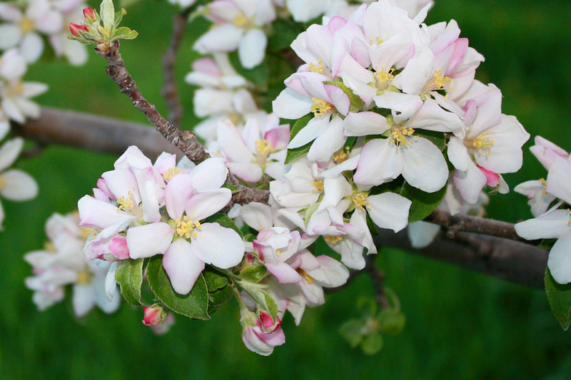 FL 18 Apple Blossoms
