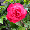 FL 153 Bright Pink Rose