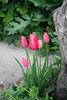 FL 144 Five Tulips -  La Garde Adhemar IMG_3709
