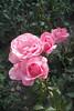 FL 130 Pink Roses