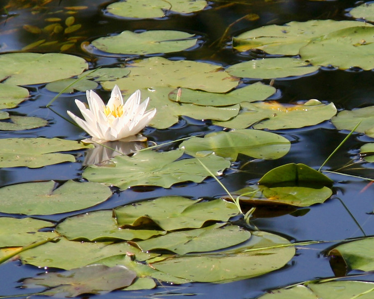 FL 61 Water Lily