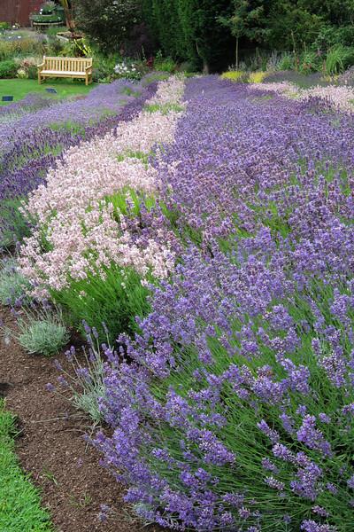 FL 113 Lavender Field